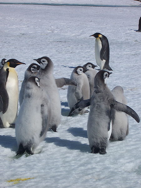 Photo of baby emperor penguins from Wiki Commons