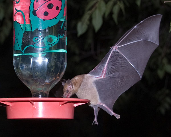 Photo (of Mexican long-tongued bat at a hummingbird feeder) from Wiki Commons