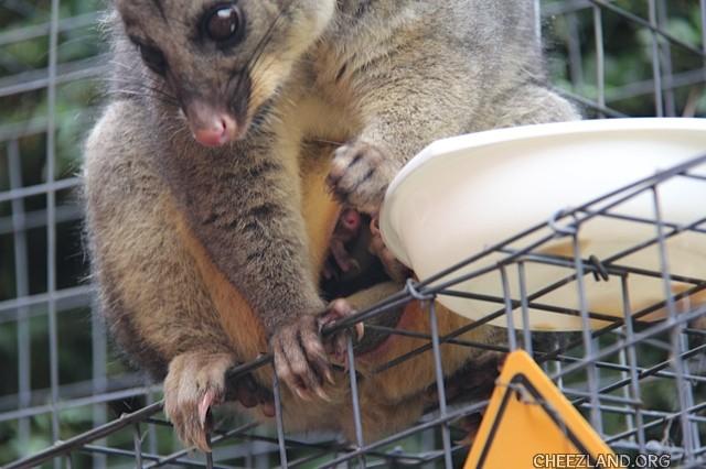 bellaandbonnie-baby_possum_peeking_out_of_pouch