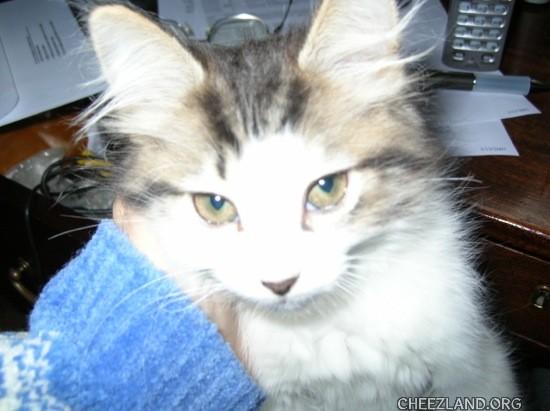 Photo (of Squeaker Floofytail azza babycat) by neenerbeener