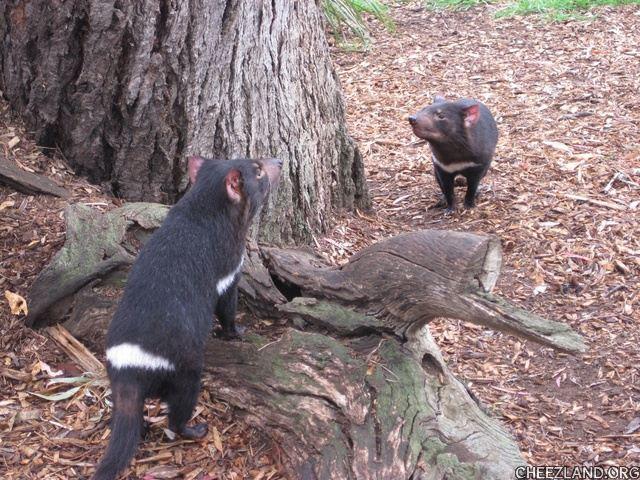 Photo of Tasmanian devils by bellaandbonnie