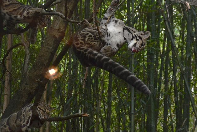 Photo of Clouded leopards from Wiki Commons