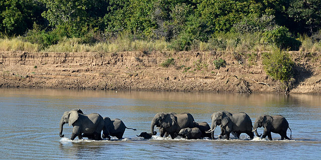 Photo of African elephants from Wiki Commons