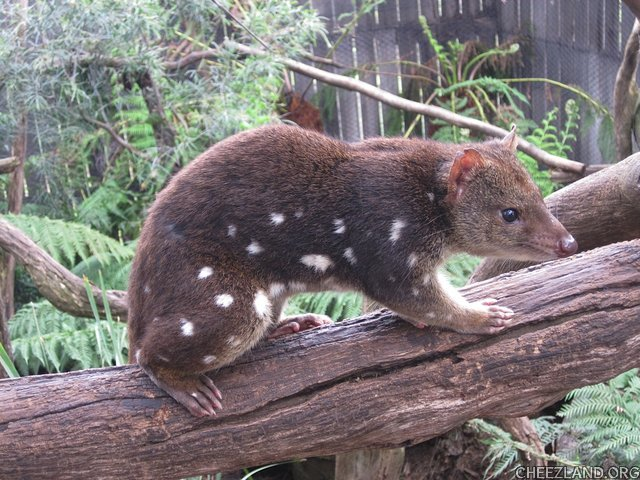 Photo (of Spotted quoll) by bellaandbonnie