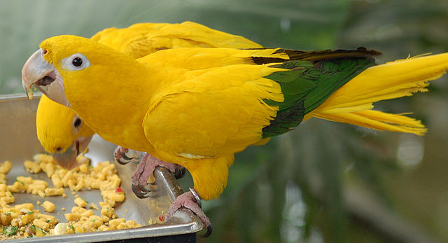 Photo (of Golden parakeet or Golden conure) from Wiki Commons