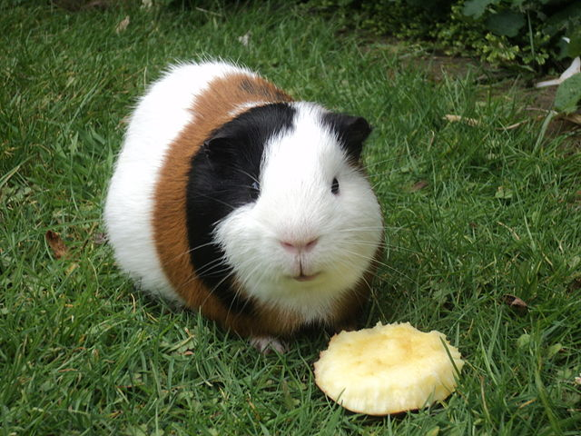 Photo of guinea pig from Wiki Commons