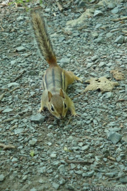 Photo (of chipmunk at 2013 Cheezmeet) by honeycakerabbit