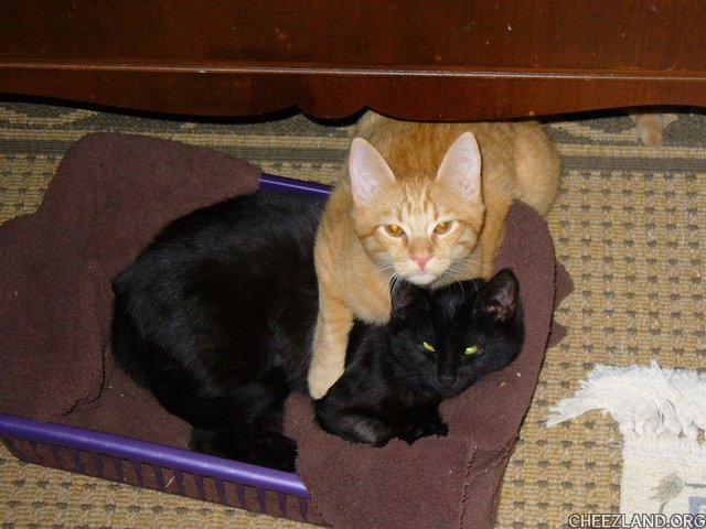 Photo (of littermates obnp Jack and panfer Sally) by KittyRoo