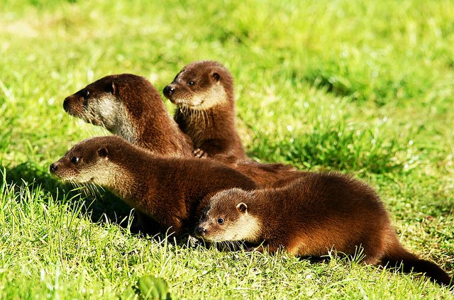 Photo (of mom Thistle and her babies at the British Wildlife Centre in Surrey) by Peter G Trimming via flickr (CC-BY)