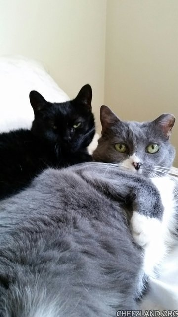 Photo (of house-panfer Baby and grey Smokey) by ginacuccu