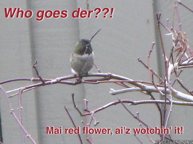 Photo (of hummer-bird Tinny) and caption by robin