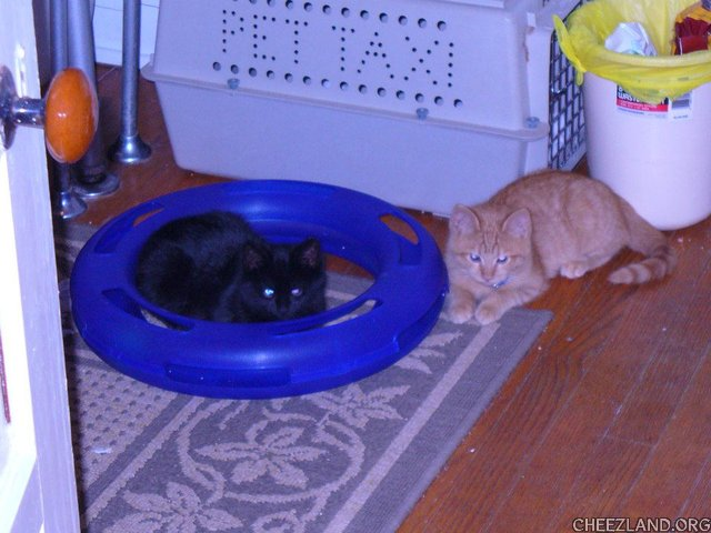 Photo (of siblings midnite Sally and obnp Jack, as babycats) by KittyRoo